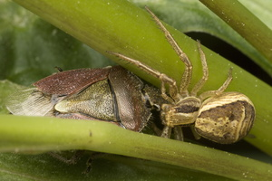 Xysticus ulmi · guobinis krabvoris