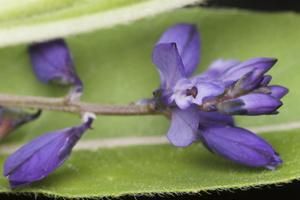 Polygala amarella · karčioji putokšlė