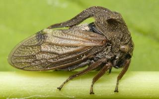 Membracidae · kuprotosios cikados