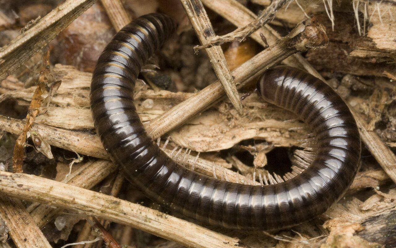 Cylindroiulus-caeruleocinctus-0167.jpg