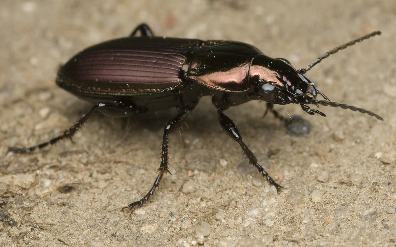 Poecilus-lepidus-9931.jpg