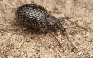 Otiorhynchus tristis · tamsusis pjovėjas