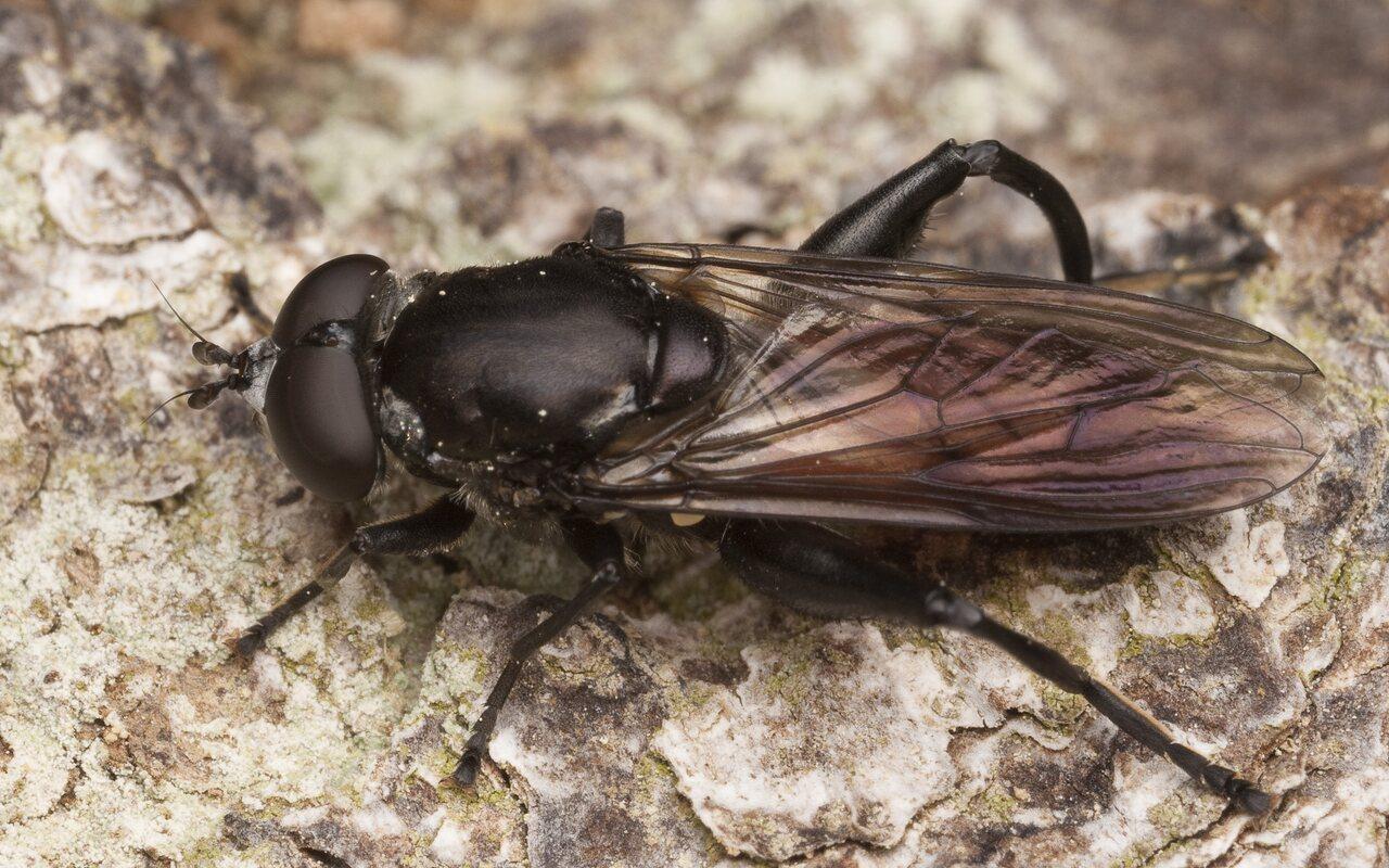 Chalcosyrphus-piger-9952.jpg