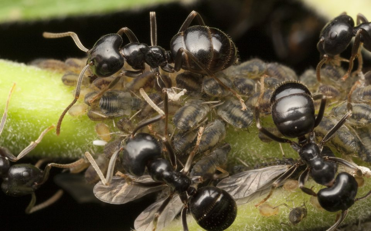 Formicidae-9969-002.jpg