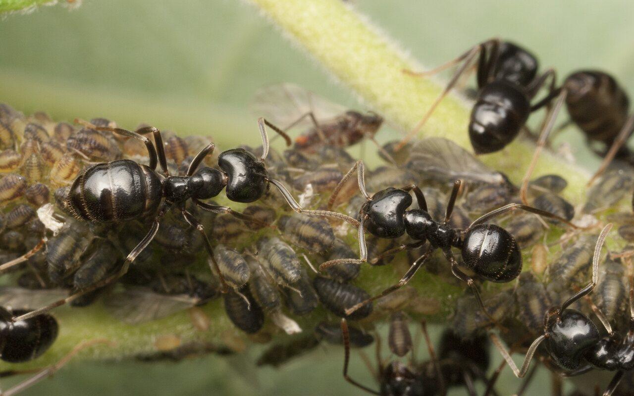 Formicidae-9971-001.jpg