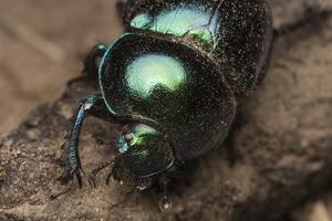 Trypocopris vernalis · žvilgantysis mėšlavabalis