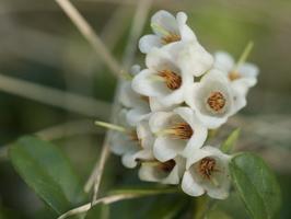 Vaccinium vitis-idaea flowers · bruknė, žiedai