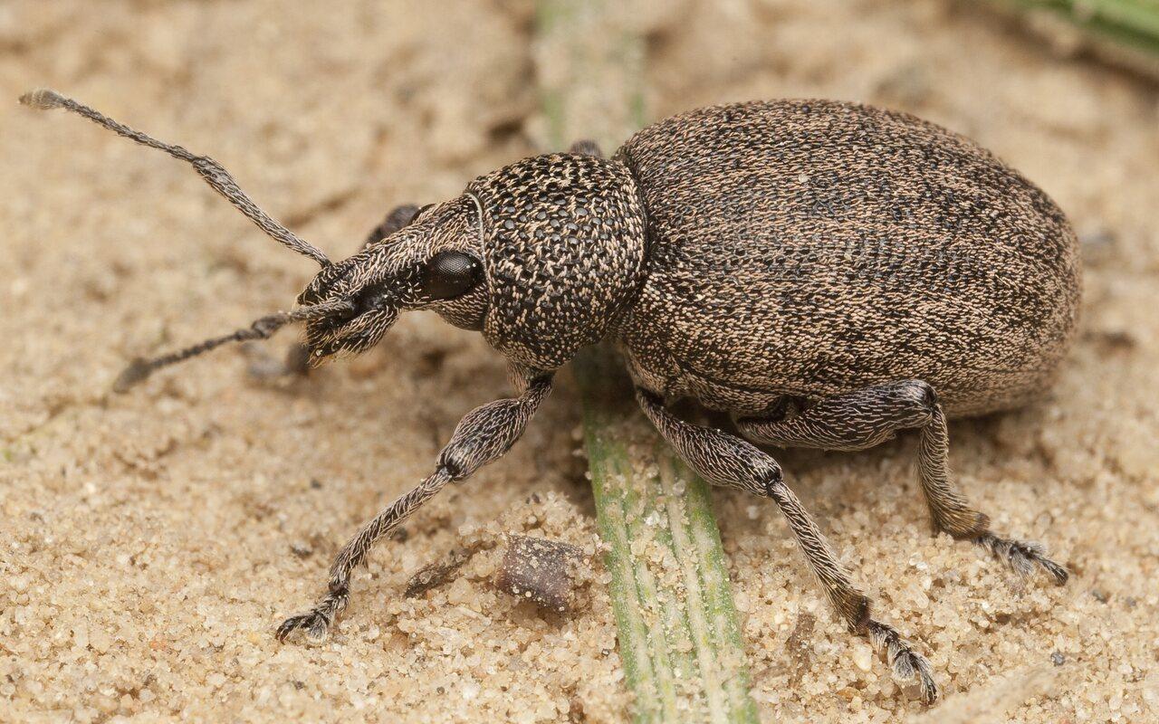 Otiorhynchus-ligustici-9993.jpg