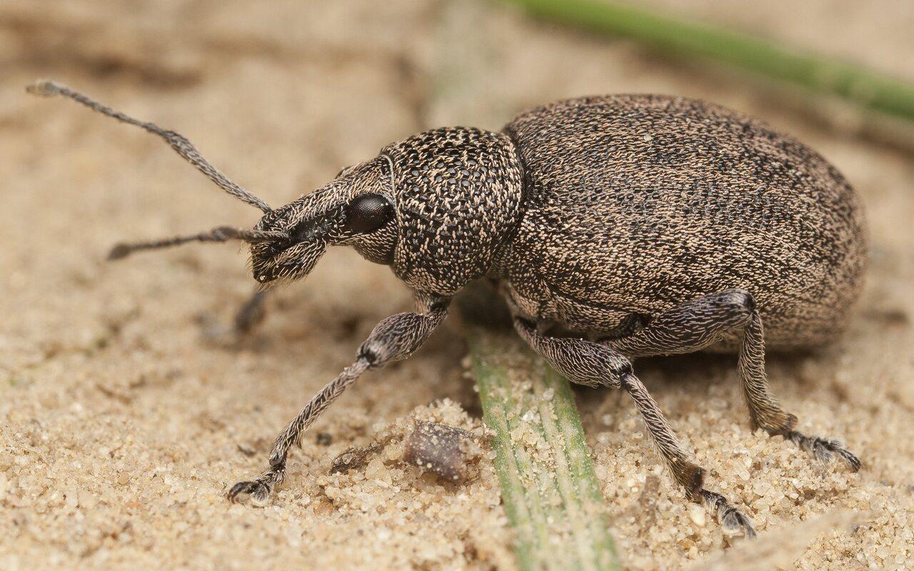 Otiorhynchus-ligustici-9995.jpg
