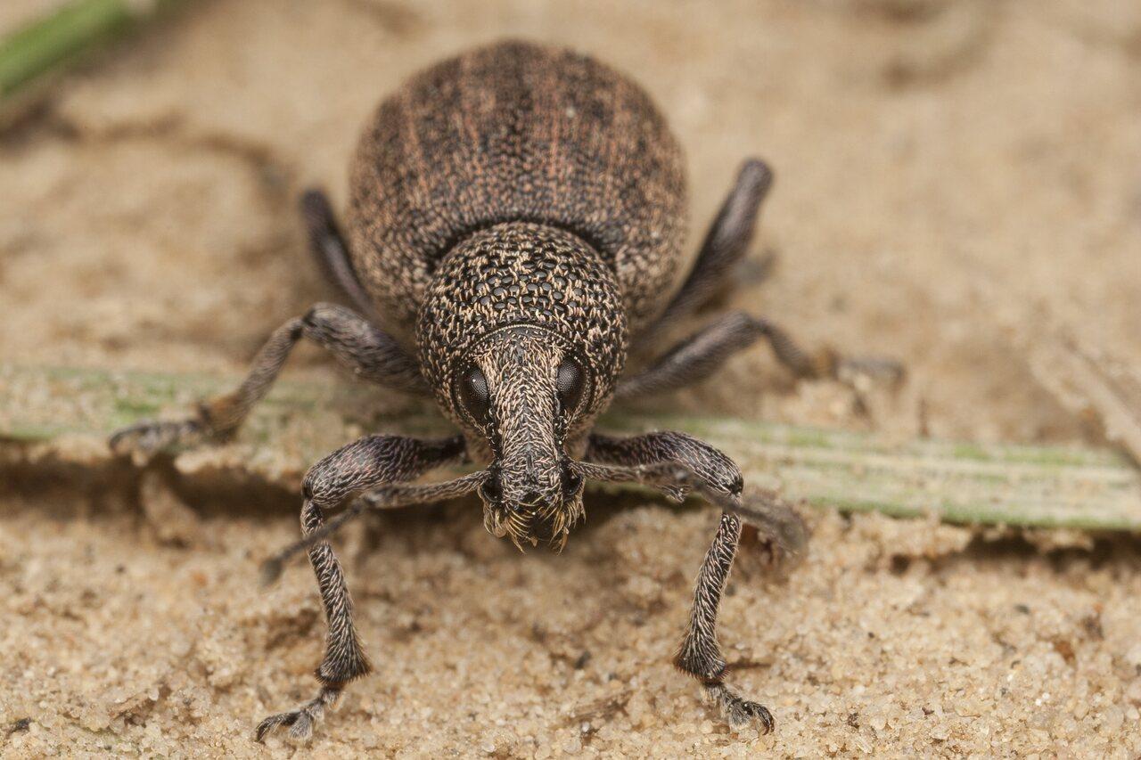 Otiorhynchus-ligustici-9998.jpg
