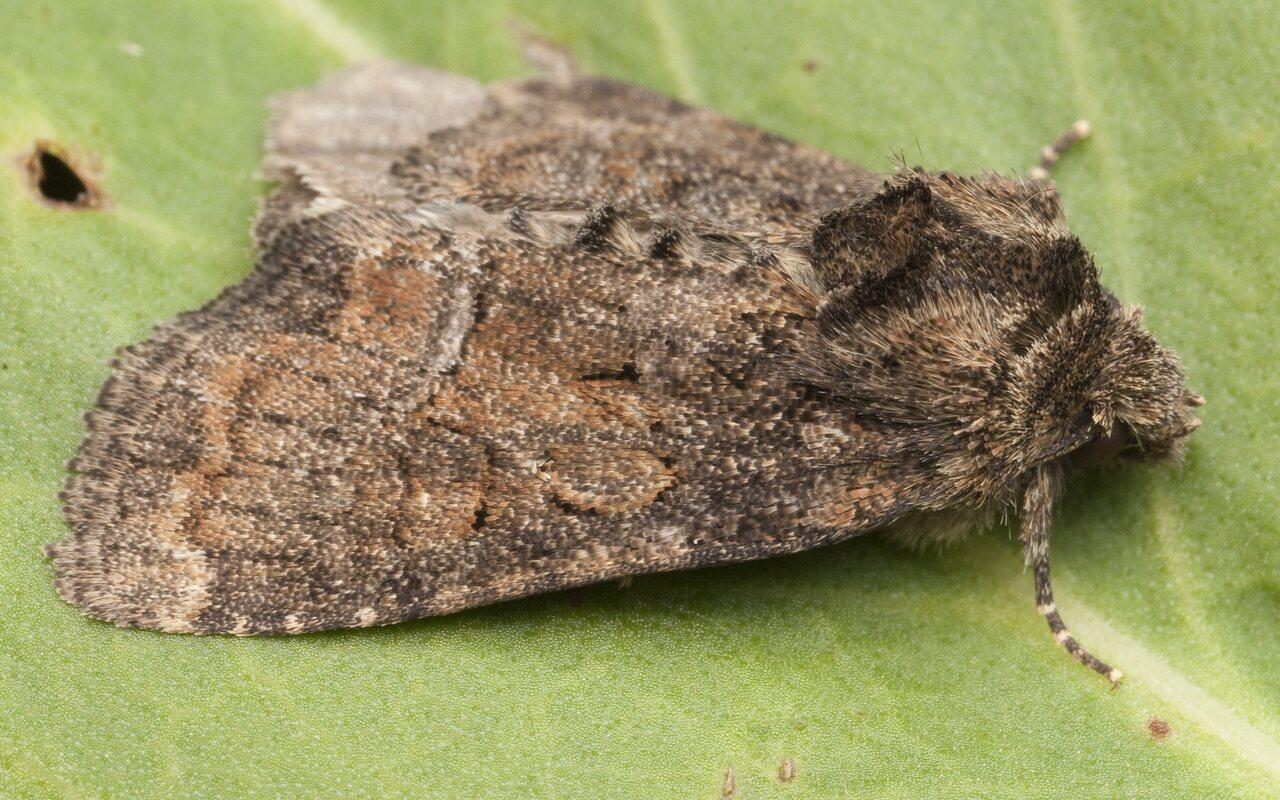 Lepidoptera-0650.jpg