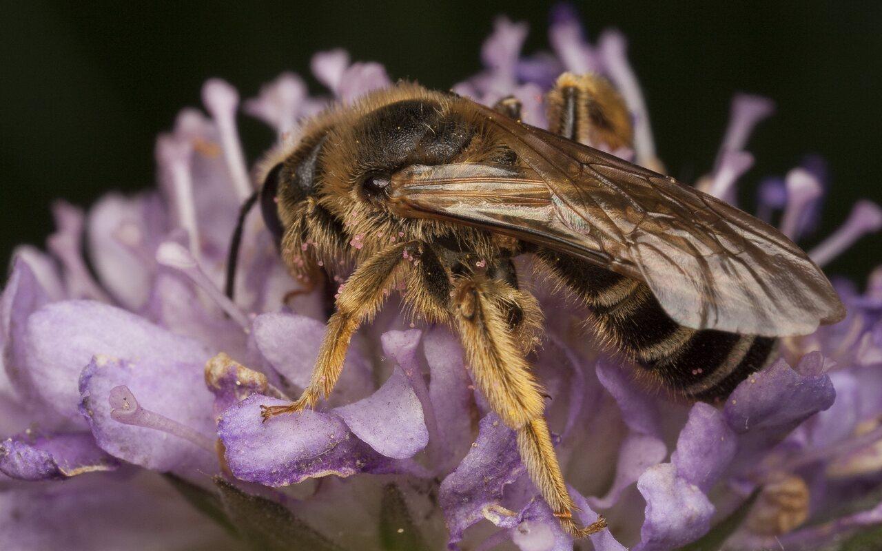 Apidae-0653.jpg