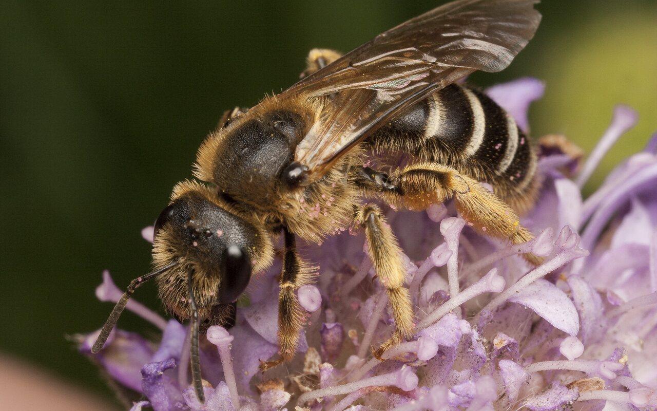 Apidae-0654.jpg