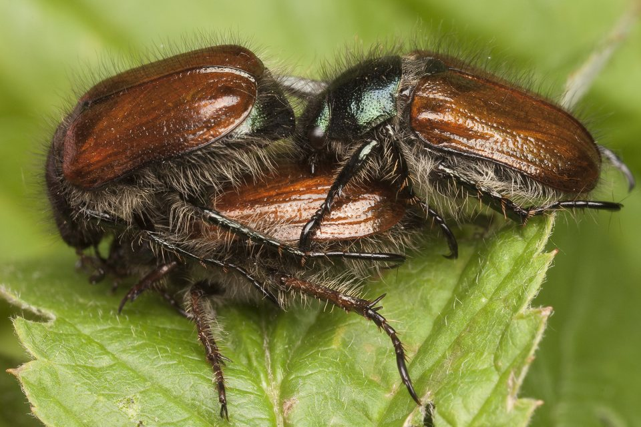 Phyllopertha-horticola-0656.jpg
