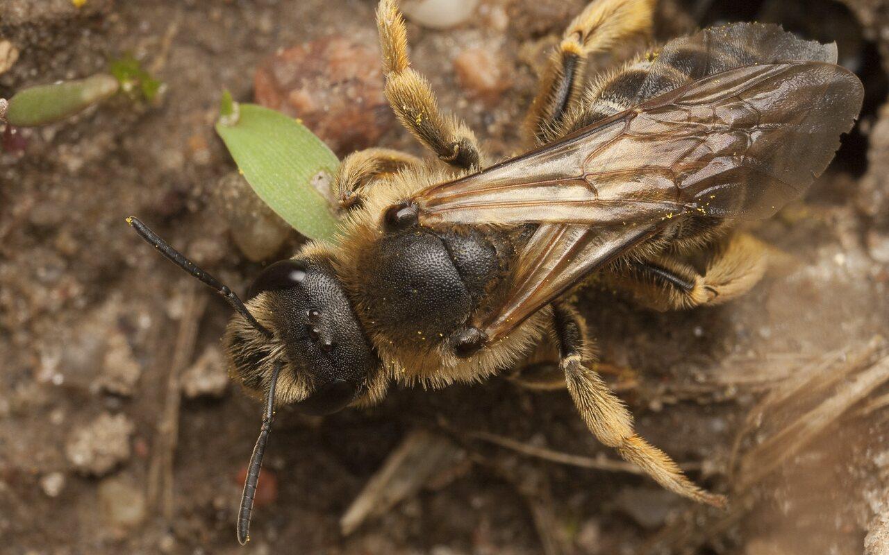 Apidae-0665.jpg