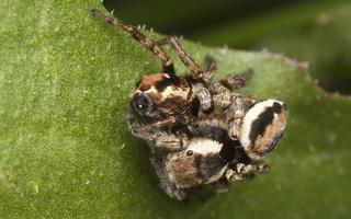 Evarcha falcata mating ? · blizgantysis musėgaudis, poruojasi