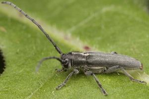 Phytoecia nigricornis · juodaūsis stiebalindis