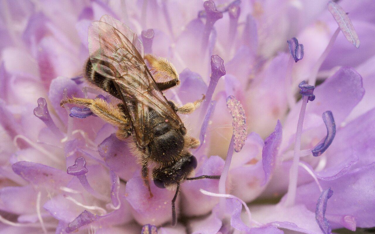 Apidae-0676.jpg