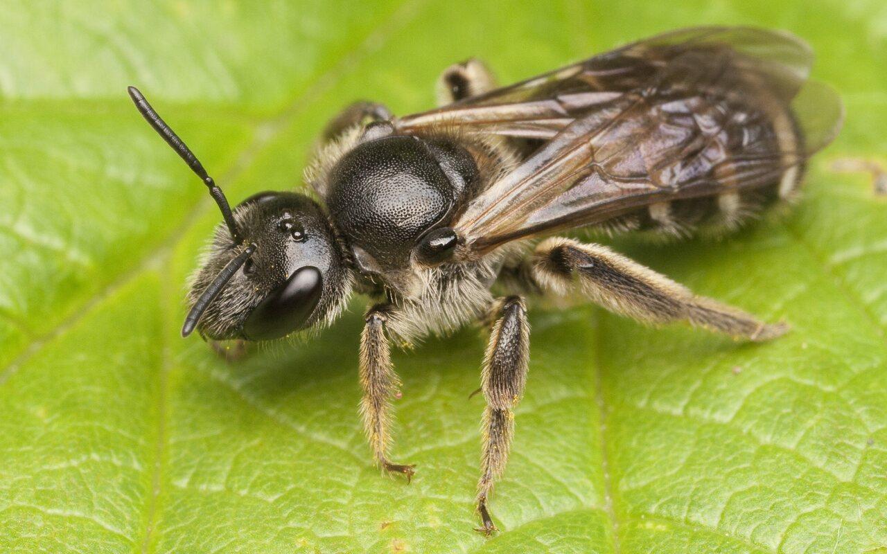 Apidae-0677.jpg