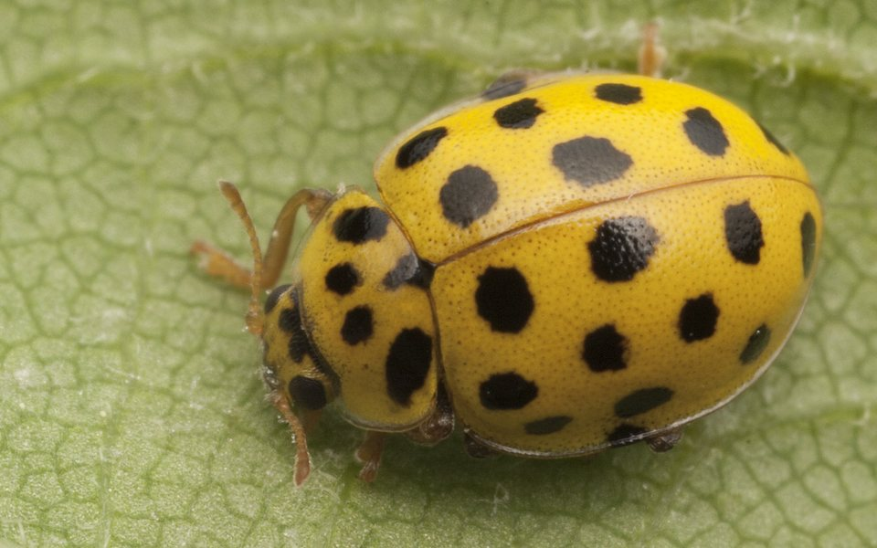 Psyllobora-vigintiduopunctata-0679.jpg