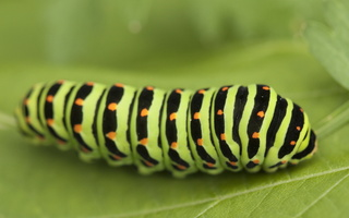 Papilio machaon caterpillar · machaonas, vikšras
