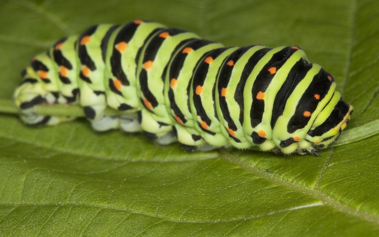 Papilio-machaon-0692.jpg