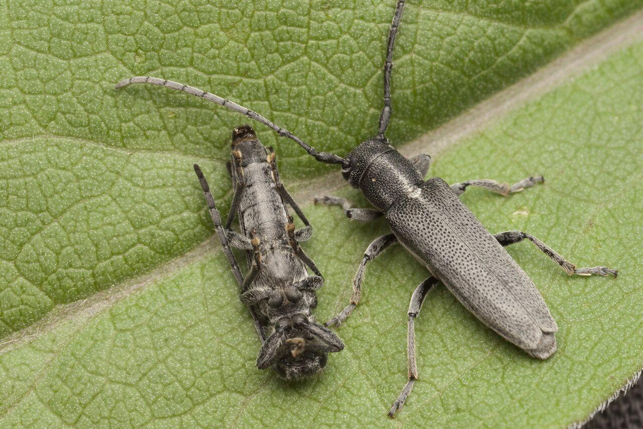 Phytoecia-nigricornis-0741.jpg