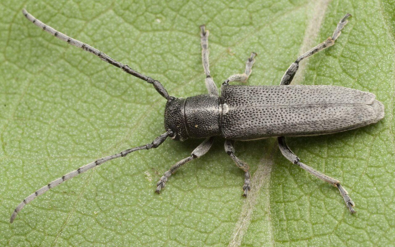 Phytoecia-nigricornis-0742.jpg