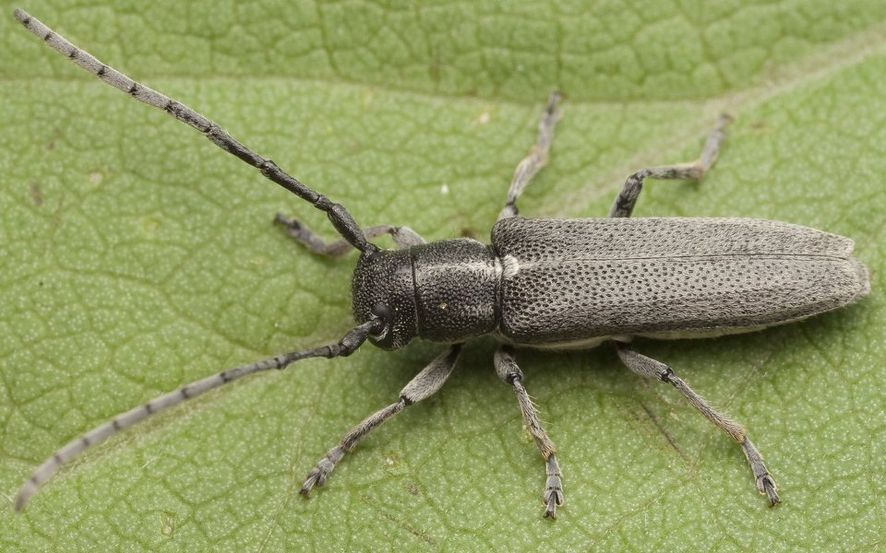 Phytoecia-nigricornis-0744.jpg