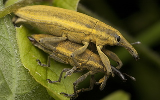 Lixus iridis mating · maudinis stiebastraublis poruojasi