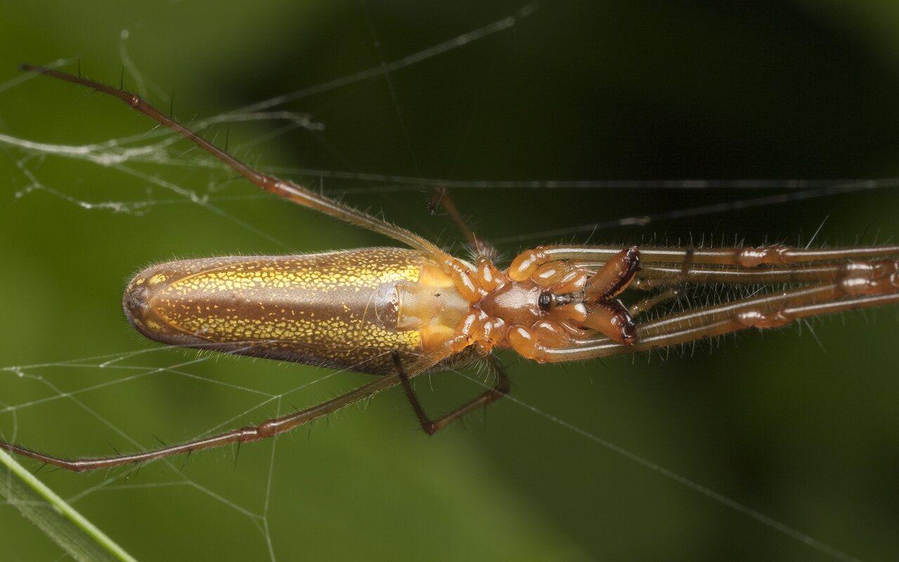 Tetragnathidae-0769.jpg