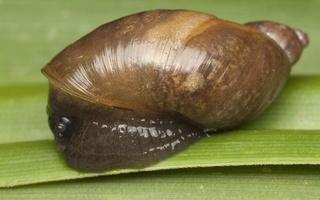 Succineidae · gintariniai