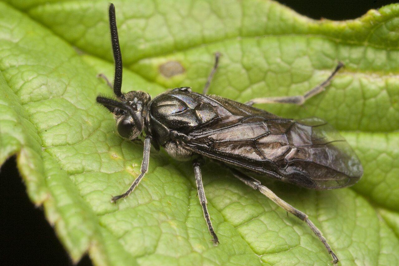 Hymenoptera-0781.jpg