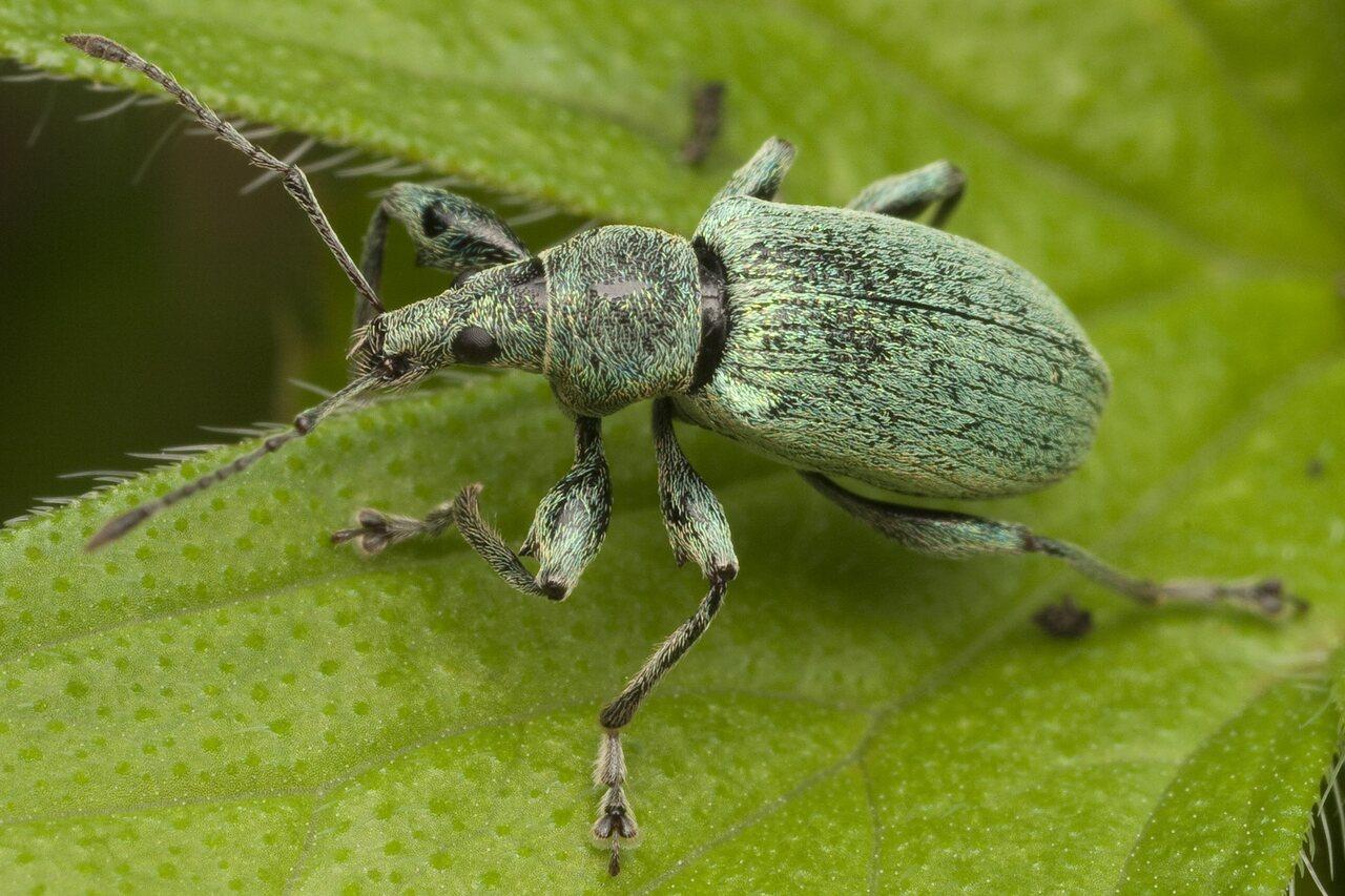 Curculionidae-0783.jpg