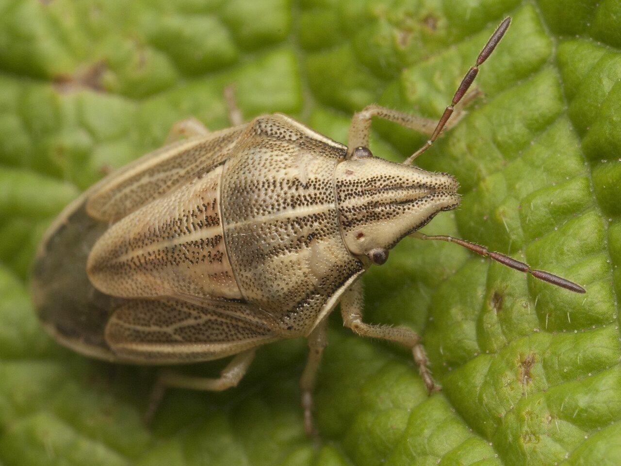 Aelia-acuminata-0787.jpg