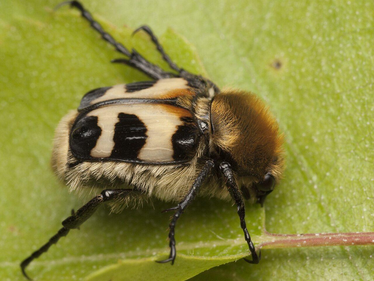 Trichius-fasciatus-0797.jpg