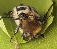 Trichius fasciatus · raštuotasis auksavabalis, grambuoliukas