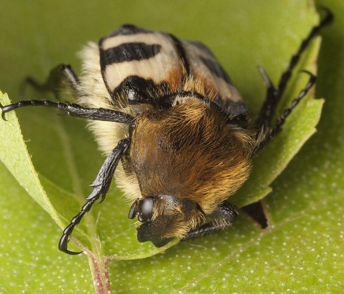 Trichius-fasciatus-0803.jpg