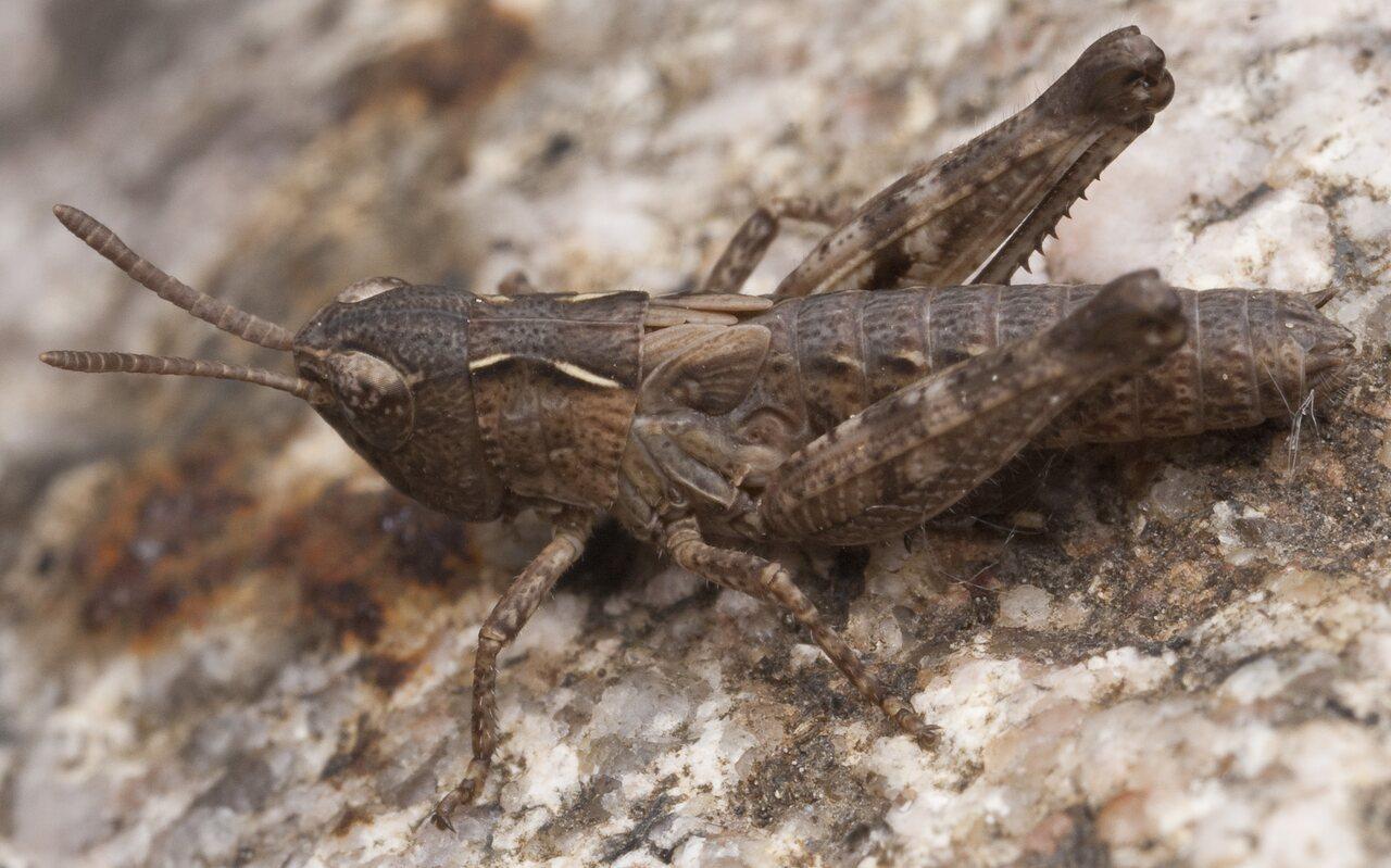 Acrididae-0809.jpg