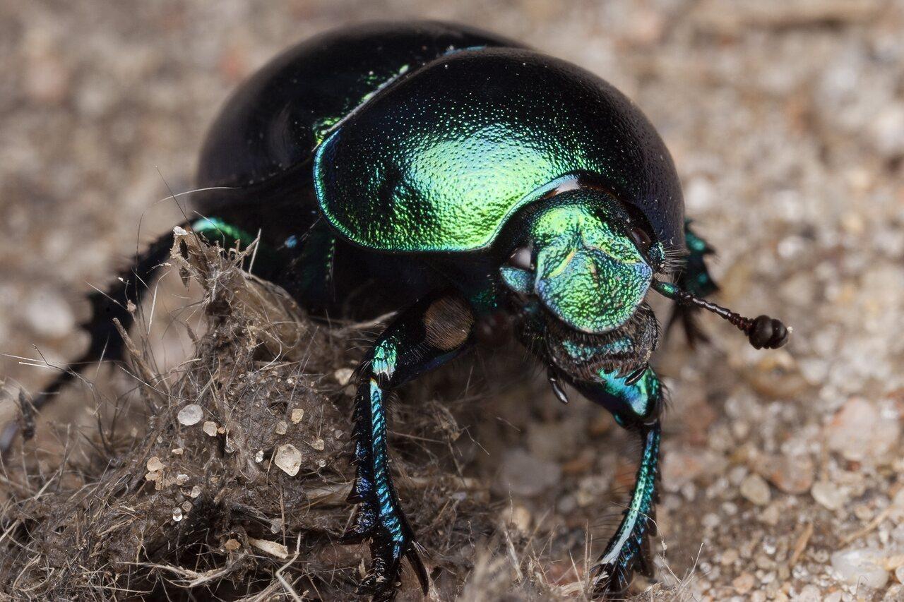 Trypocopris-vernalis-0830.jpg