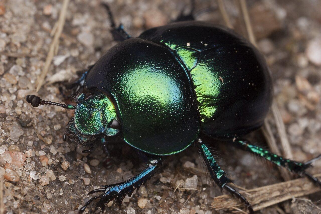 Trypocopris-vernalis-0833.jpg
