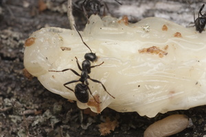 Cerambycidae pupa · ūsuočio lėliukė