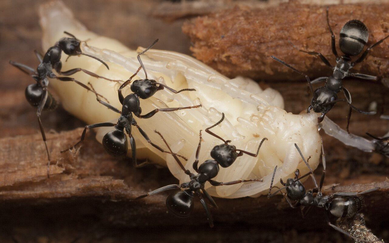 Cerambycidae-pupa-0837.jpg