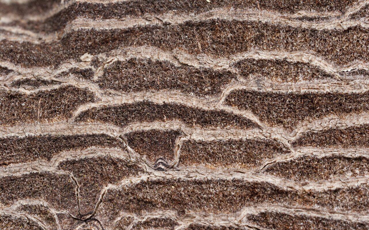 Pinus-sylvestris-0858.jpg