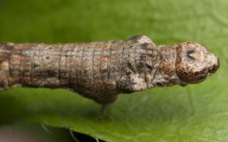 Lepidoptera caterpillar · drugys, vikšras