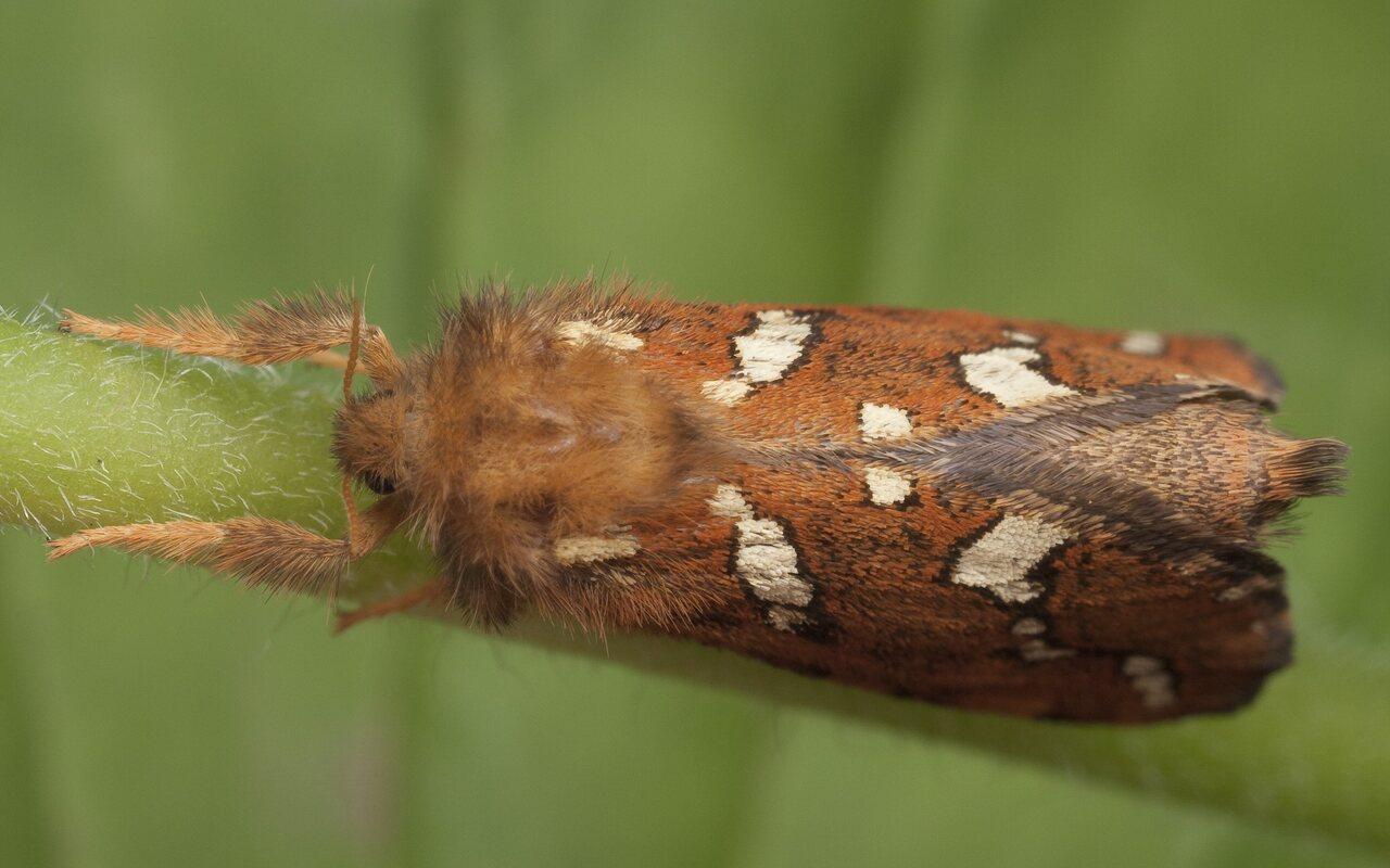 Phymatopus-hecta-0869.jpg