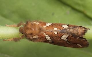 Phymatopus hecta, male · mažasis šakniagraužis ♂