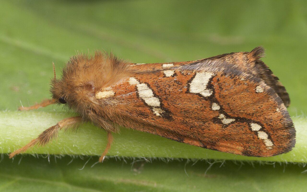 Phymatopus-hecta-0871.jpg