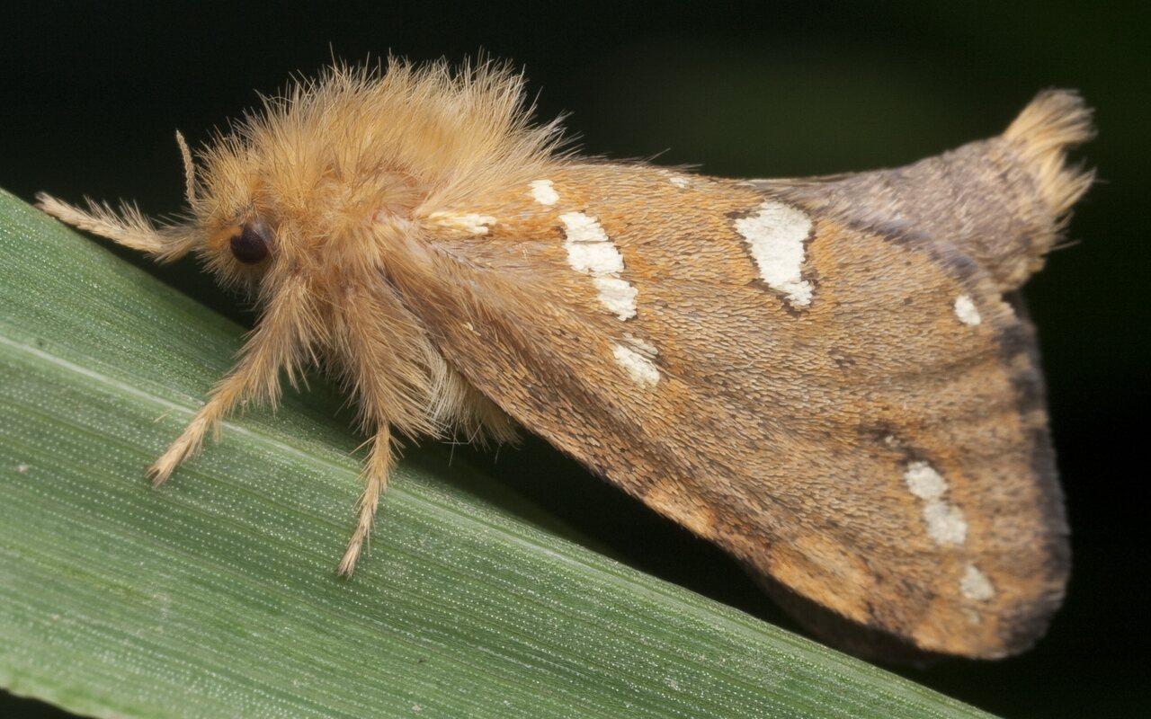 Phymatopus-hecta-0882.jpg