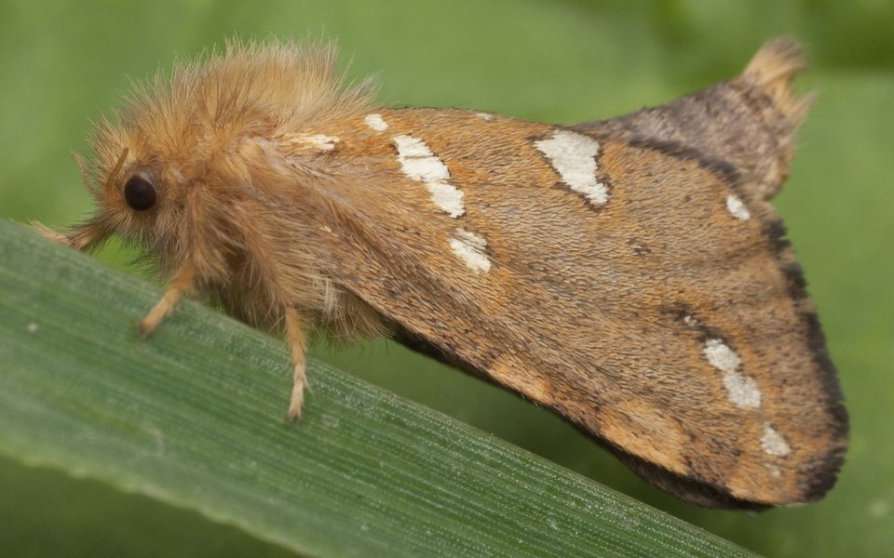 Phymatopus-hecta-0884.jpg